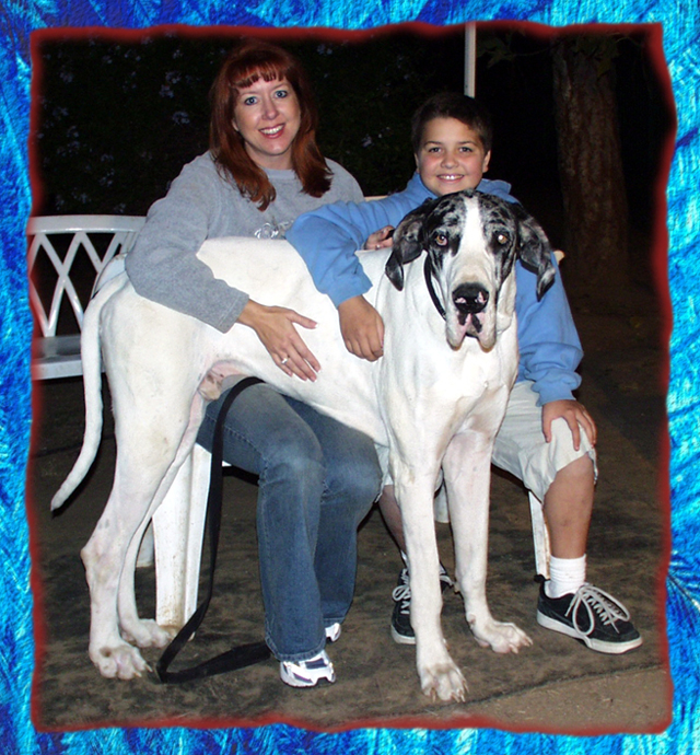Sire a Great Dane adult