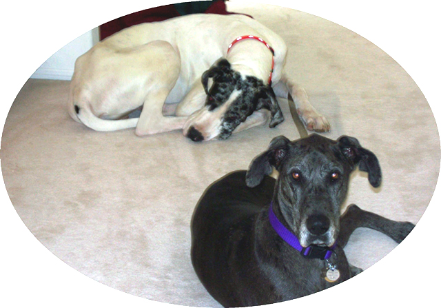 Zoe a Great Dane adult
